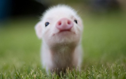 pig-wallpapers-3