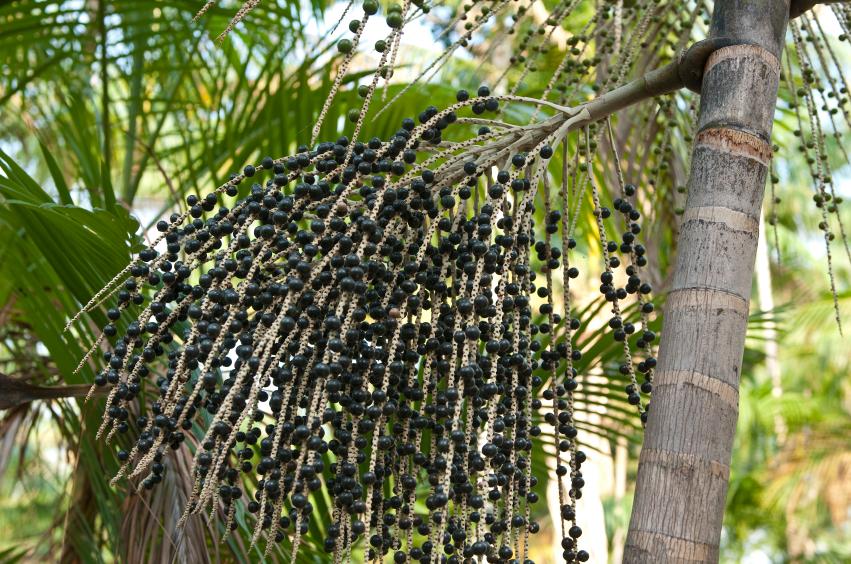 acai-palm-tree